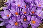 Clump of purple crocus flowers fills the frame in early spring Stock Photo - Royalty-Free, Artist: sgoodwin4813                  , Code: 400-06082707