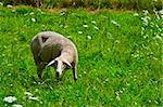 Sheep Grazing in the Alpine Meadows of Bavaria
