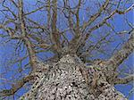 trunk of old oak tree naked branches in sky without leaf Stock Photo - Royalty-Free, Artist: 100ker                        , Code: 400-06084017