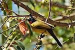 beautiful black-crested bulbul in the fruit tree Stock Photo - Royalty-Free, Artist: cowboy54                      , Code: 400-06084124