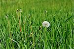 white dandelion on a green meadow Stock Photo - Royalty-Free, Artist: mycola                        , Code: 400-06087011