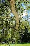birch trunk with leafs against spring blue sky in park Stock Photo - Royalty-Free, Artist: artush                        , Code: 400-06087432