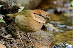 beautiful female rusty-naped pitta (Pitta oatesi) Stock Photo - Royalty-Free, Artist: cowboy54                      , Code: 400-06087537