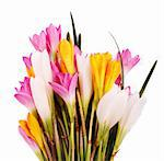 Bunch of beautiful brightly colored Crocus flowers isolated on white with water drops Stock Photo - Royalty-Free, Artist: smarnad                       , Code: 400-06087973