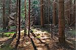 a beautiful pine forest in the morning Stock Photo - Royalty-Free, Artist: porojnicu                     , Code: 400-06090161