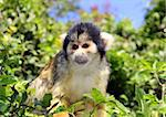 Black-capped squirrel monkey sitting on tree branch Stock Photo - Royalty-Free, Artist: irisphoto                     , Code: 400-06090398