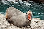 Close-up of a annoyed  New Zealand fur seal (Arctocephalus forsteri)