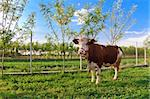 a beautiful cow in a spring meadow Stock Photo - Royalty-Free, Artist: porojnicu                     , Code: 400-06099645