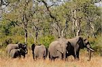 Small herd of African elephants (Loxodonta africana), Kruger National Park, South Africa  Stock Photo - Royalty-Free, Artist: EcoShow                       , Code: 400-06100464