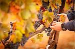 Farmer Inspecting His Ripe Wine Grapes Ready For Harvest. Stock Photo - Royalty-Free, Artist: Feverpitched                  , Code: 400-06101644