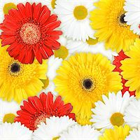 flores - Abstract background of red, yellow and white flowers. Seamless pattern for your design. Close-up. Studio photography. Stock Photo - Royalty-Freenull, Code: 400-06101963