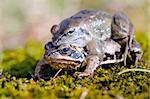 Male frog on top of another. Stock Photo - Royalty-Free, Artist: sauletas                      , Code: 400-06106966
