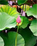 Bud of pink lotus flower in pond Stock Photo - Royalty-Free, Artist: PinkBadger                    , Code: 400-06107859