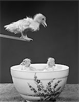 1950s DUCKLING ON DIVING BOARD LOOKING DOWN AT TWO OTHER DUCKLINGS IN DEEP BOWL FILLED WITH WATER Stock Photo - Premium Rights-Managednull, Code: 846-06111767