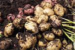 potato,plant Stock Photo - Premium Royalty-Free, Artist: IIC, Code: 6106-06114045