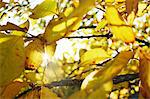 Sunlight through yellow tree leaves Stock Photo - Premium Royalty-Free, Artist: Blend Images, Code: 698-06116612