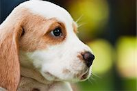 Beagle puppy, side view Stock Photo - Premium Royalty-Freenull, Code: 632-06118763