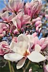 Magnolia, Aschaffenburg, Bavaria, Germany Stock Photo - Premium Royalty-Free, Artist: Raimund Linke, Code: 600-06119665
