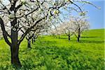 Cherry Trees, Baden-Wurttemberg, Germany