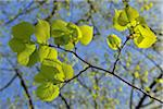 Lime Tree Leaves, Meersburg, Bodenseekreis, Tubingen, Baden Wurttemberg, Germany Stock Photo - Premium Royalty-Free, Artist: Raimund Linke, Code: 600-06119697