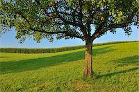 single fruits tree - Apple Tree in Summer, Switzerland Stock Photo - Premium Royalty-Freenull, Code: 600-06119755