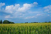 Corn Field, Millville, Indiana, USA Stock Photo - Premium Royalty-Freenull, Code: 600-06125583