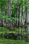 Cypress Swamp, Natchez Trace Parkway, Mississippi, USA Stock Photo - Premium Royalty-Free, Artist: Ed Gifford, Code: 600-06125783