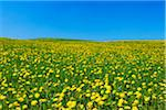Meadow of Dandelions, Bavaria, Germany Stock Photo - Premium Royalty-Free, Artist: Martin Ruegner, Code: 600-06125873