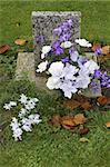 Purple and white flowers on a grave, Batsford church, Gloucestershire, England, uk Stock Photo - Royalty-Free, Artist: gynane                        , Code: 400-06129324