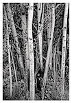 white bark trees Stock Photo - Royalty-Free, Artist: freelens                      , Code: 400-06129614