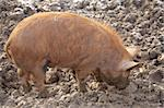 Tamworth pig foraging for food in a frost muddy field Stock Photo - Royalty-Free, Artist: gynane                        , Code: 400-06130034