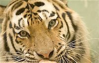 Tiger Stock Photo - Royalty-Freenull, Code: 400-06131646