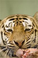Tiger eating Stock Photo - Royalty-Freenull, Code: 400-06131652