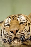 Tiger resting Stock Photo - Royalty-Freenull, Code: 400-06131667