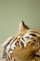 Tigers face Stock Photo - Royalty-Freenull, Code: 400-06131670