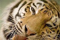 Tiger portrait Stock Photo - Royalty-Freenull, Code: 400-06131712
