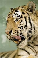 Tiger portrait series Stock Photo - Royalty-Freenull, Code: 400-06131748