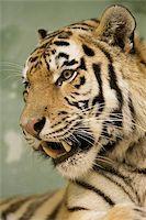 Tiger portrait Stock Photo - Royalty-Freenull, Code: 400-06131754