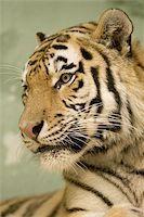 Tiger portrait Stock Photo - Royalty-Freenull, Code: 400-06131756