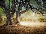Iediterranean olive field with old olive tree ready for harvest. Stock Photo - Royalty-Free, Artist: mythja                        , Code: 400-06135913
