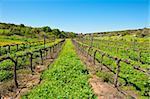 Young Vineyard in  Israel, Spring
