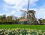 traditional dutch windmill with daffodils, Netherlands