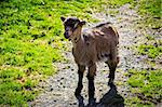 Back-lighted young goat with green grass in the background Stock Photo - Royalty-Free, Artist: YeahItsCharlie                , Code: 400-06136652