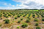 Young Trees in the Nursery for Growing Spruce for Christmas, Belgium Stock Photo - Royalty-Free, Artist: gkuna                         , Code: 400-06137110