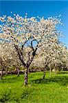 Apple Orchard in the middle of the spring season. Stock Photo - Royalty-Free, Artist: Fyletto                       , Code: 400-06137812