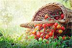 Freshly harvested tomatoes Large basket full of cherry tomatoes lying in the summer grass. Stock Photo - Royalty-Free, Artist: mythja                        , Code: 400-06139535