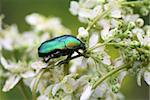 Closeup of nice green bright beetle on white flower Stock Photo - Royalty-Free, Artist: kvkirillov                    , Code: 400-06140358