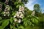 flowers of a blooming horse chestnut tree (Aesculus hippocastanum) Stock Photo - Royalty-Free, Artist: hansenn                       , Code: 400-06141845