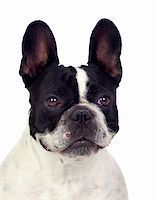 Beautiful french bulldog isolated on white background Stock Photo - Royalty-Freenull, Code: 400-06142814