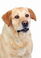 Beautiful Labrador retriever adult isolated on white background Stock Photo - Royalty-Freenull, Code: 400-06142822
